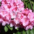Beautiful rhododendron flowers in the park — Stock Photo