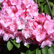 Beautiful rhododendron flowers in the park — Lizenzfreies Foto
