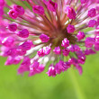Alium purple sensation — Stock Photo