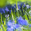 Beautiful bluebells close up — Stock Photo #26527115