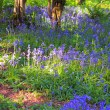 Beautiful bluebells forest — Stockfoto