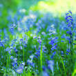 Beautiful bluebells close up  — Stock Photo