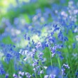 Beautiful bluebells close up — Stock Photo #26527453