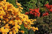 在公园里美丽的杜鹃花 — 图库照片