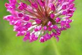 Uczucie alium fioletowy — Zdjęcie stockowe