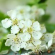 Beautiful spring white flowers — Stock Photo #26738763