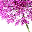 Beautiful blooming allium close up — Stock Photo
