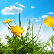 Beautiful spring buttercups — Stockfoto