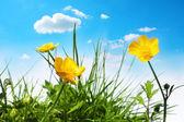 美丽的春天毛茛属植物 — 图库照片