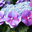 blue hydrangea&quot — Stock Photo