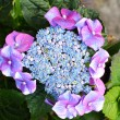 Blue hydrangea — Stock Photo #27839611