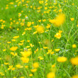 Stock Photo: Beautiful meadow of buttercups