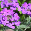 Beautiful verbena close up  — Stock Photo