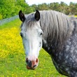Beautiful white horse — Stock Photo