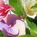Beautiful hydranea flowers close up — Stock Photo