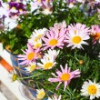Stock Photo: Pretty daisies close up