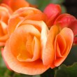 Orange begonia close up — Stock Photo
