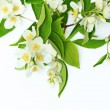 Jasmine flowers background — Stock Photo