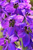 Violet delphinium close up — Stock Photo