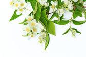 Jasmine flowers background — Stock Photo