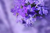 Beautiful blooming verbena — Stock Photo
