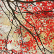 Beautiful red maple grungy background — Stockfoto
