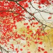 Beautiful red maple grungy background — Stock Photo