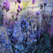 Beautiful dreamy lavender flowers — Stock Photo