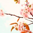 Lovely cherry blossom  — Stock Photo