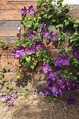прекрасная фиолетовая клематис — Стоковое фото