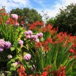 Crocosmia 'Lucifer' and pink hydrangeas — ストック写真
