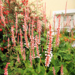 Persicaria amplexicaulis 'Firetail' — Stock Photo