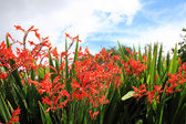 Crocosmia 'Lucifer' — Stock Photo