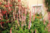Persicaria amplexicaulis 'Firetail' — Stock Photo