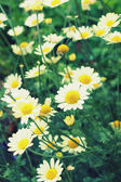 Daisies, vintage style — Stock Photo