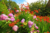Crocosmia 'Lucifer' and pink hydrangeas — Stock Photo