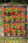 Colorful geraniums in blossom — Stock Photo