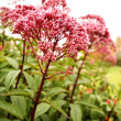 Sedum 'Ruby Glow' — Stock Photo