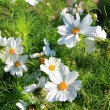 White cosmos flowers — Stockfoto