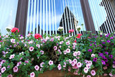 Trailing petunia, surfinia in a hanging basket. — Stock Photo