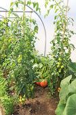 Coltivare pomodori in serra — Foto Stock