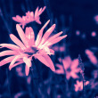 Stock Photo: Dreamy pink daisies