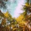 Stock Photo: Conifer trees in Springtime