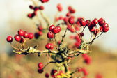Hawthorn berries background — Stock Photo
