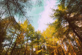 Conifer trees in Springtime — Stock Photo
