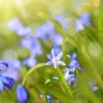 Beautiful, blue, spring scilla flowers — Stock Photo #42656023