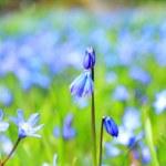 Beautiful, blue, spring scilla flowers — Stock Photo #42656151