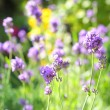 Summer lavender meadow — Stock Photo