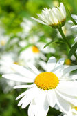 Summer meadow of daisies — Stock Photo