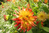 Colorful red and yellow dahlia flower  — Stock Photo